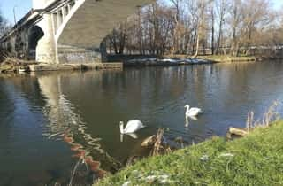 A river in Oswiecim, the city of Auschwitz with Swans and a Bridge