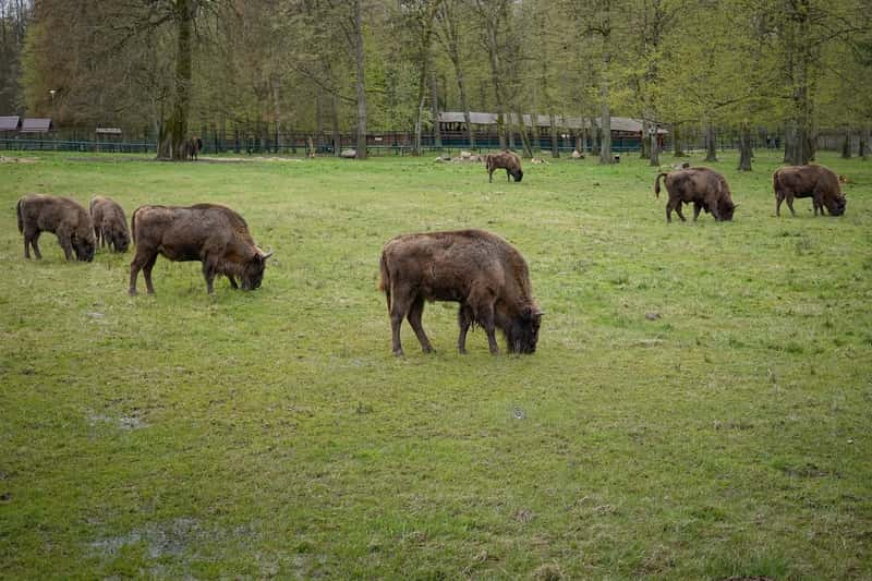 European Bisons Bialowieza Nature Reserve